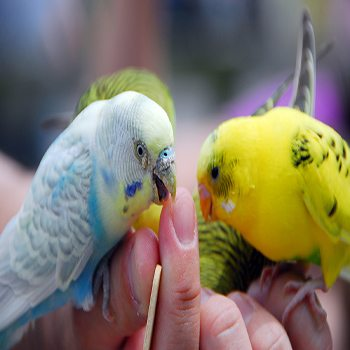 How Can I Stop My Budgie from Biting?