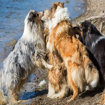 Why Do Dogs Hump Each Other?