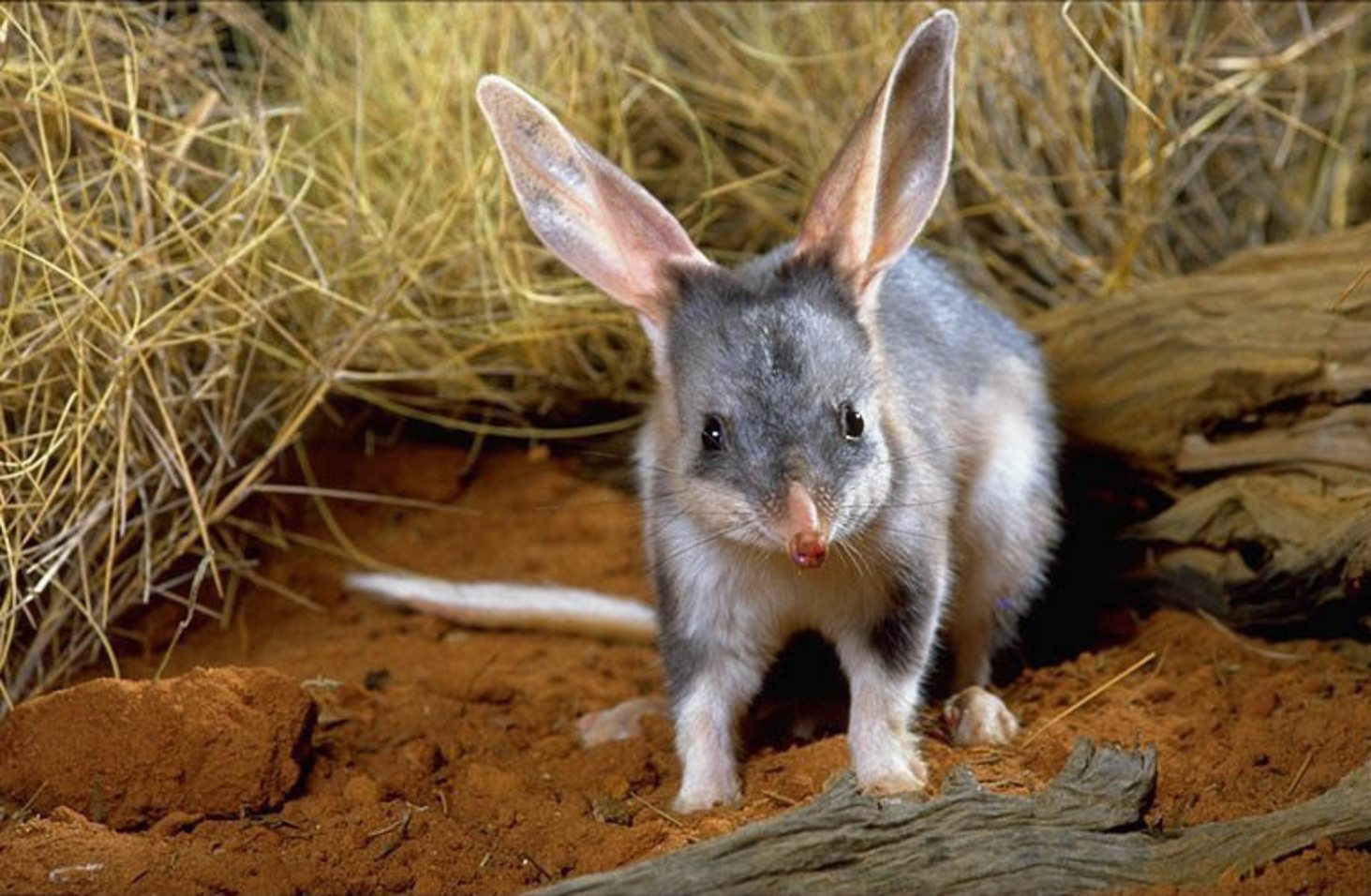 Success Story: The Greater Bilby Makes A Comeback