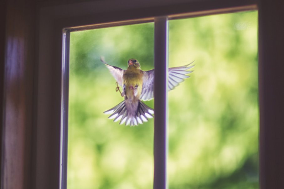 How To Stop Wild Birds Hitting Your Windows
