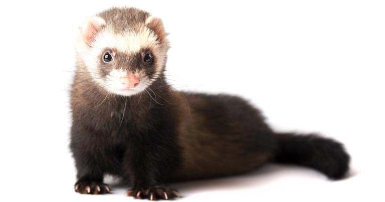 Animal Communication and Ferrets