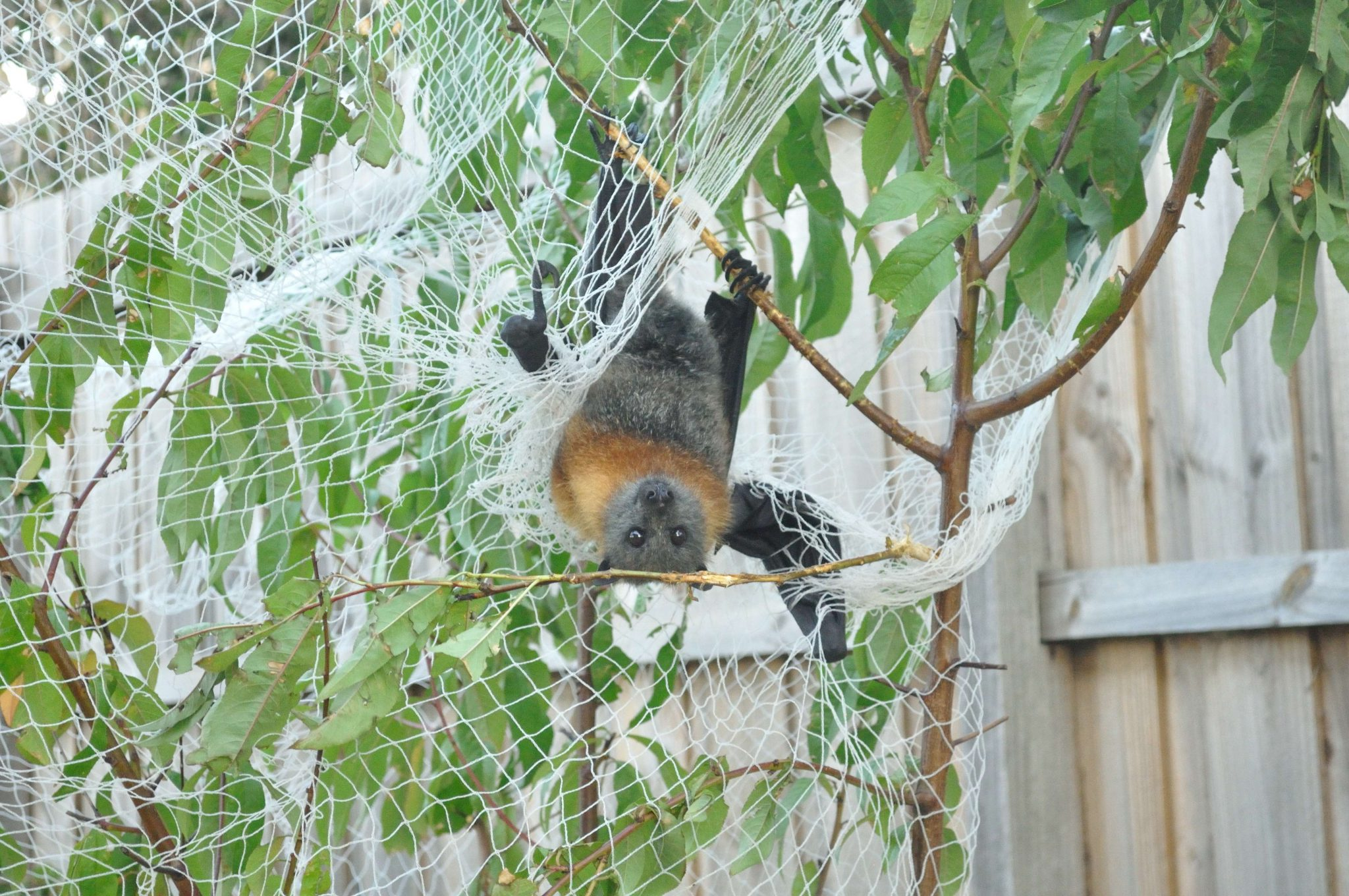 How To Prevent Wild Animals From Getting Caught In Fruit Netting
