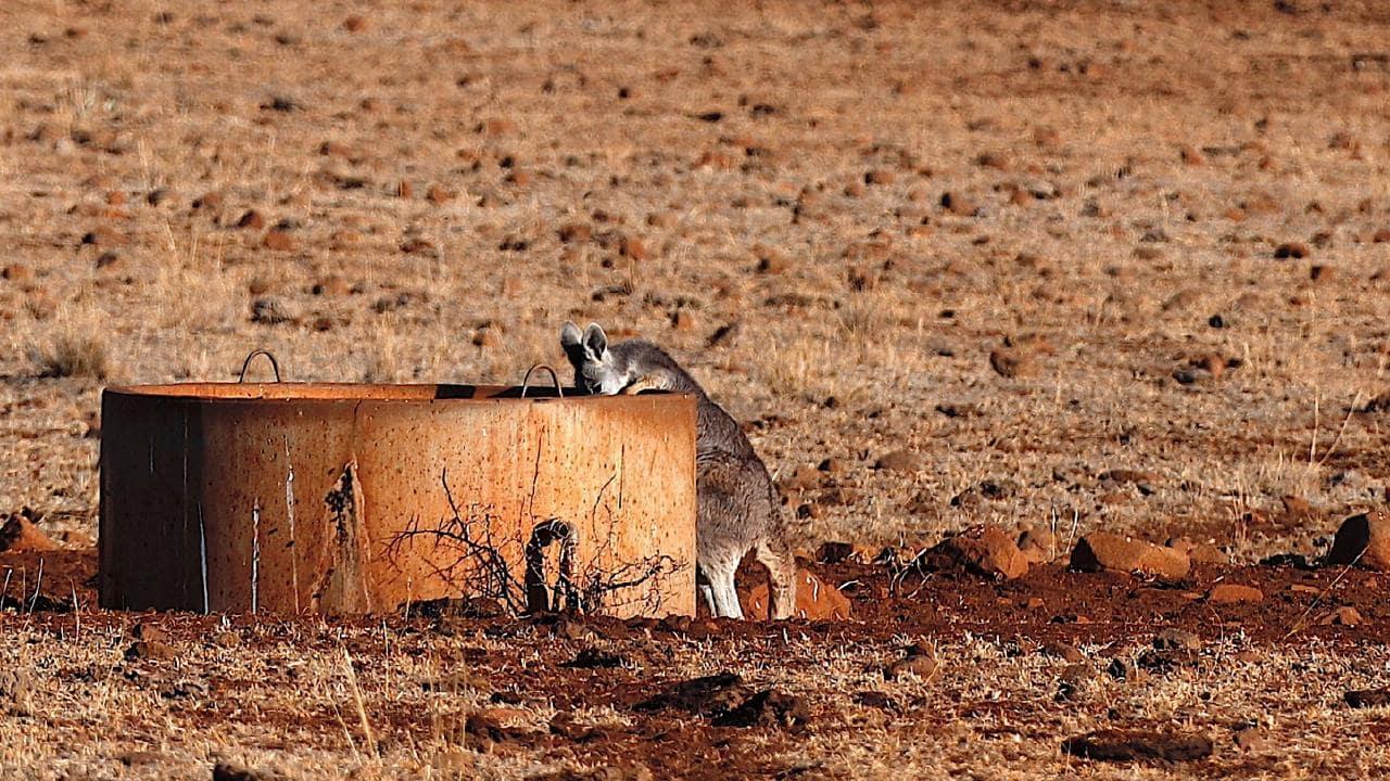 Perilous Times For Australia's WildlifeAmid Severe Drought