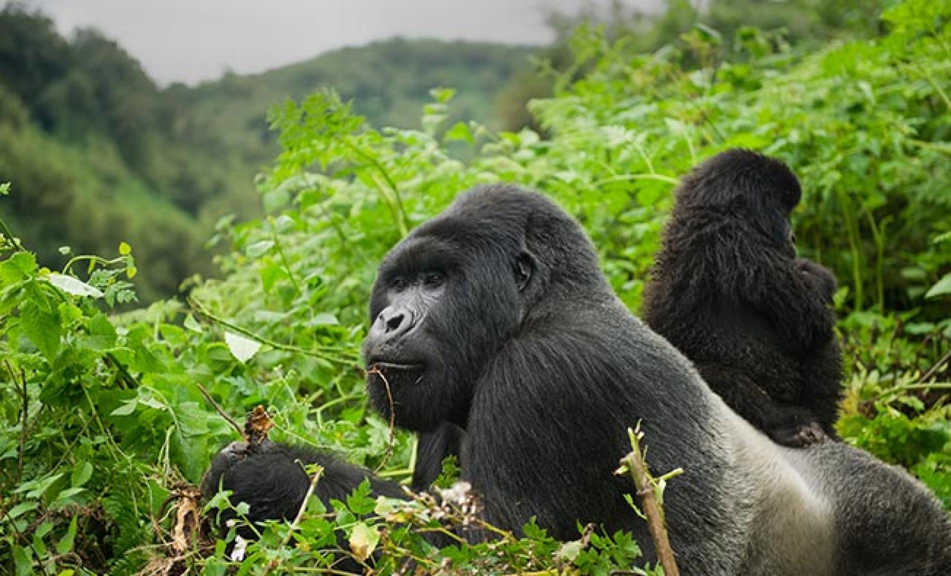 Gorillas No Longer In The Mist